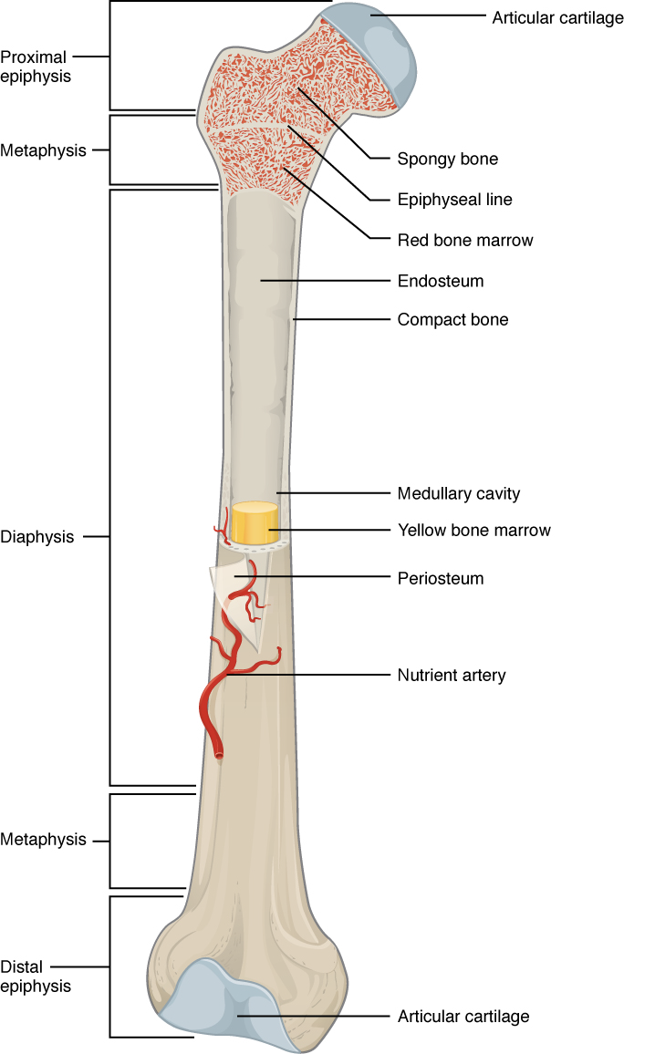 OpenStax: Anatomy and Physiology | CH6: BONE TISSUE AND THE SKELETAL ...