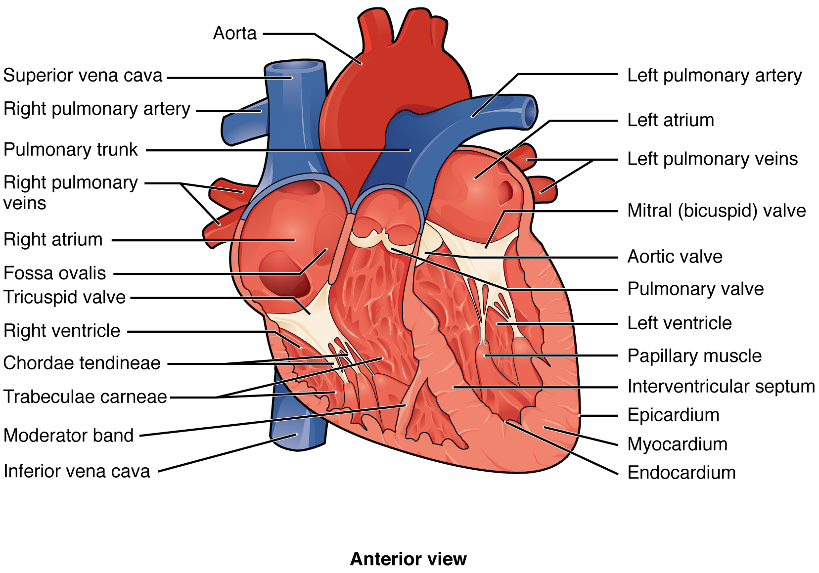 OpenStax: Anatomy and Physiology | CH19: THE CARDIOVASCULAR SYSTEM ...