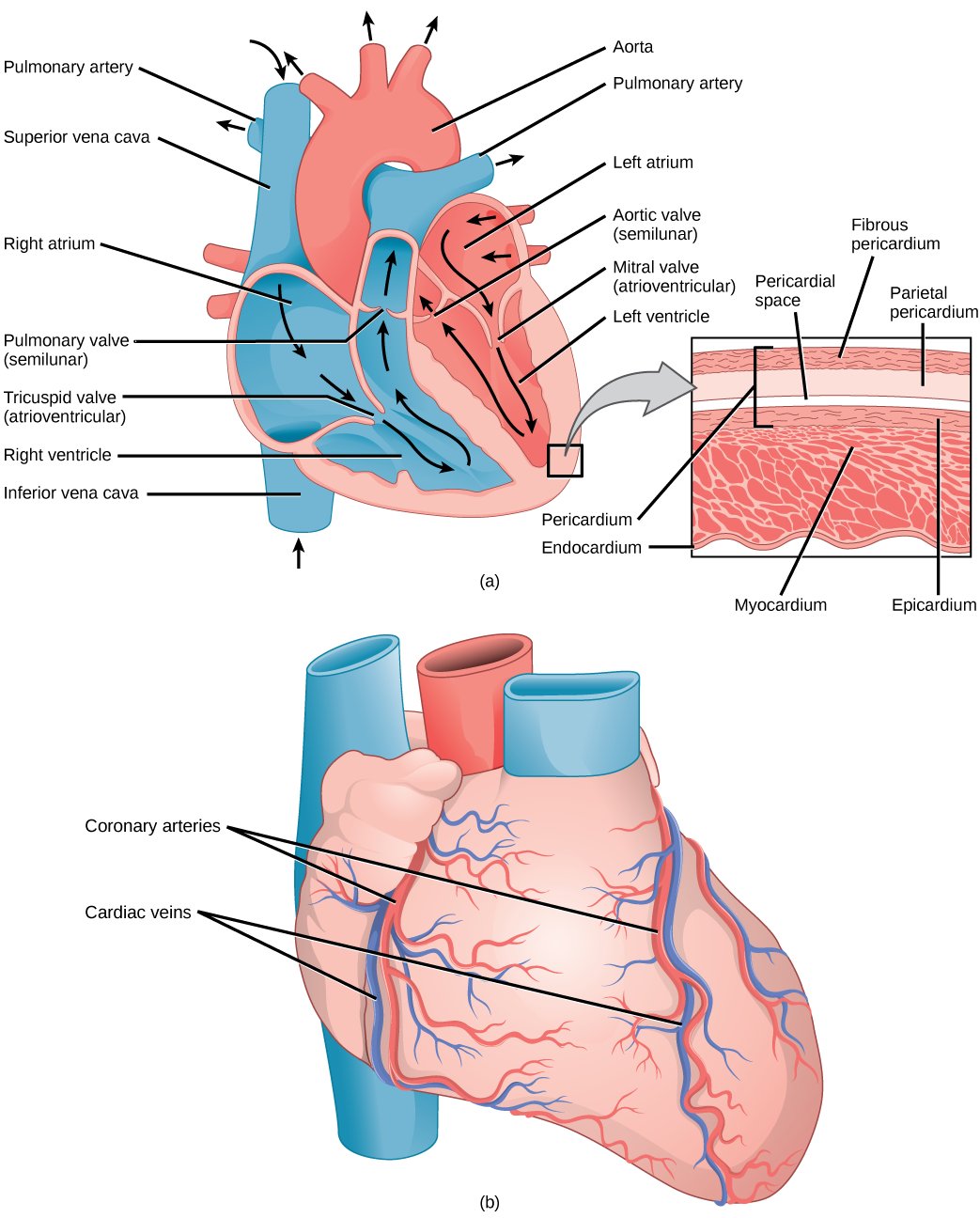 Openstax Biology Top Hat Marketplace Diagram Of Prokaryotic Cell By Mariana Ruiz Figure 4011 A The Heart Is Primarily Made Thick Muscle Layer Called Myocardium Surrounded Membranes One Way Valves Separate Four