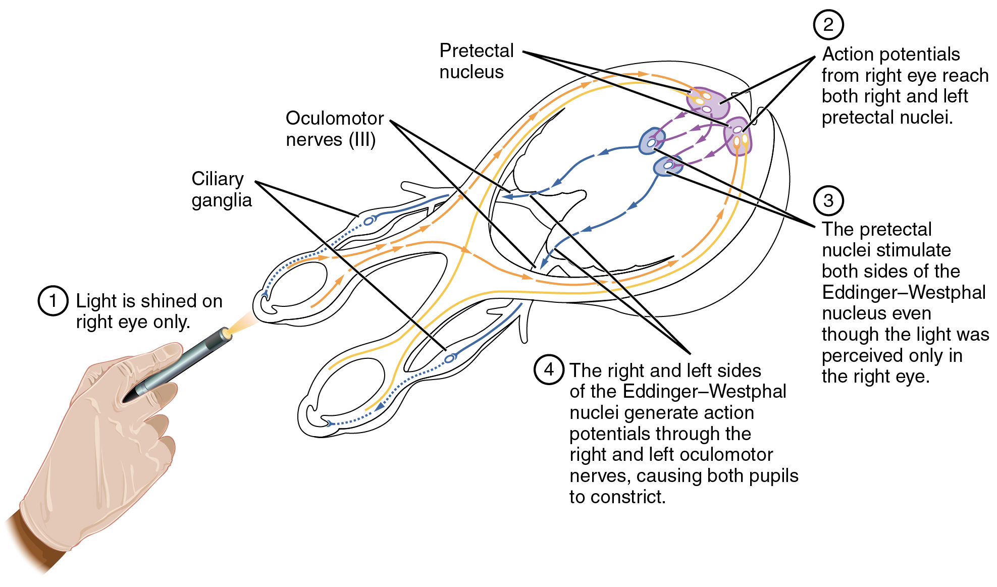 OpenStax: Anatomy and Physiology | CH15: THE AUTONOMIC NERVOUS ...