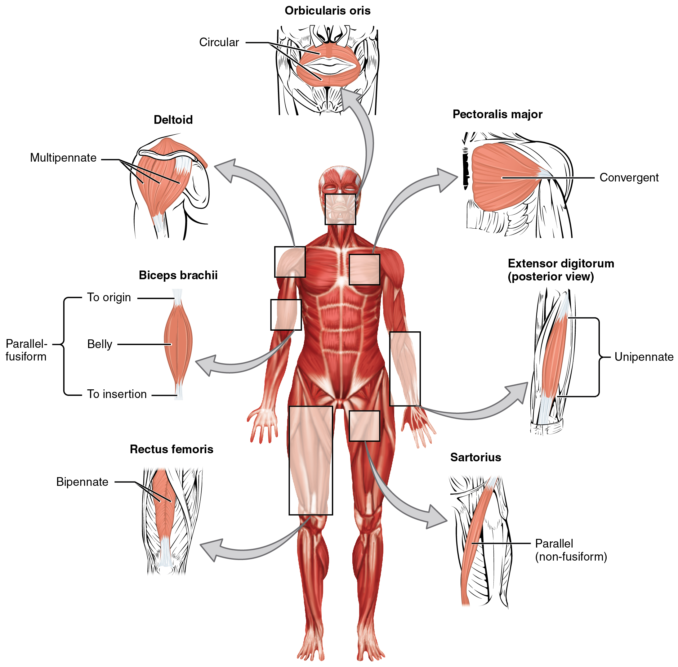 Openstax Anatomy And Physiology Ch 11 The Muscular System Top Hat
