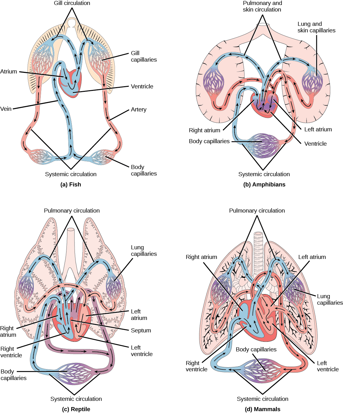 Openstax Biology Top Hat Marketplace Diagram Of Prokaryotic Cell By Mariana Ruiz Figure 404 A Fish Have The Simplest Circulatory Systems Vertebrates Blood Flows Unidirectionally From Two Chambered Heart Through Gills