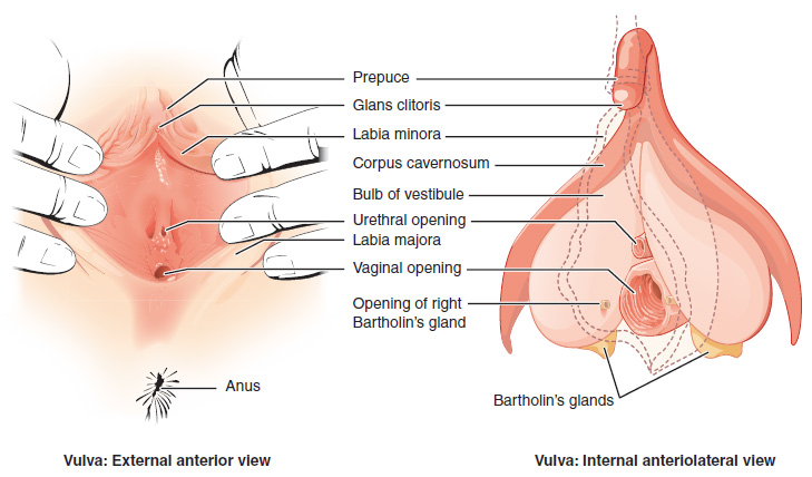Openstax Anatomy And Physiology Ch27 The Reproductive System