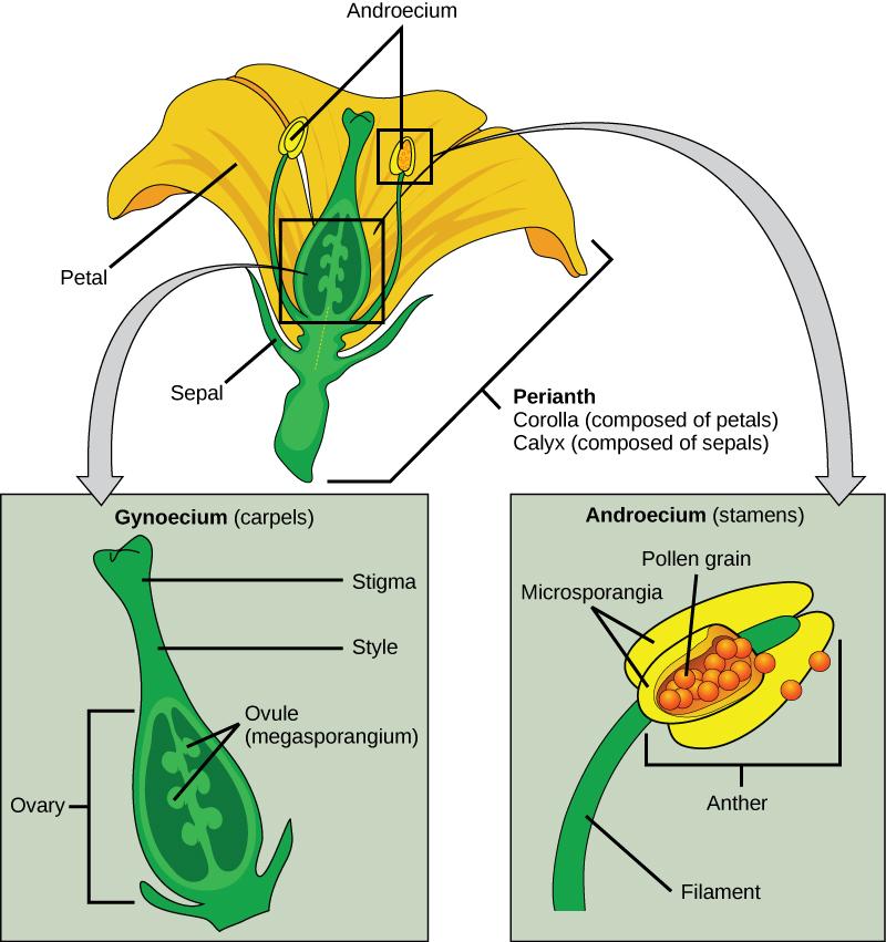Openstax Biology Ch26 Seed Plants Top Hat
