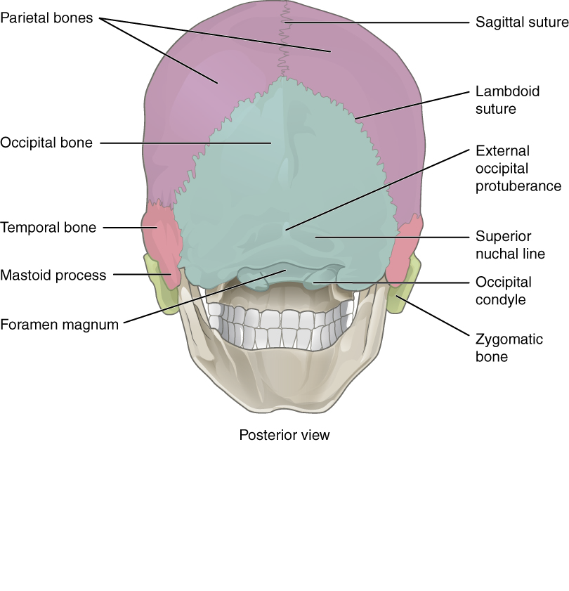 Openstax Anatomy And Physiology Ch7 Axial Skeleton Top Hat