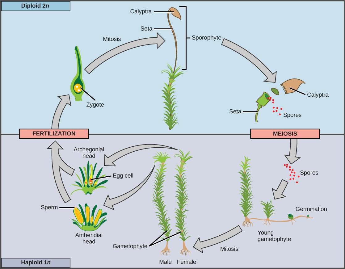 Openstax Biology Concepts Ch14 Diversity Of Plants Top Hat