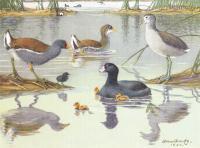 "1942 Vintage AUDUBON BIRDS #77 /""BELTED KINGFISHER/"" Color Art Plate Lithograph"