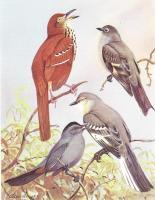 """1942 Vintage AUDUBON BIRDS #73 /""""Wood Thrush/"""" Color Art Plate Lithograph"""