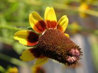 Frische Samen Rudbeckia Amplexicaulis Präriesonnenhut