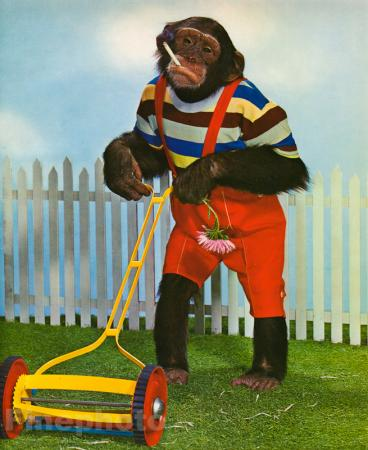1959 Monkey Humor Chimpanzee Cutting Grass Lawn Mowing