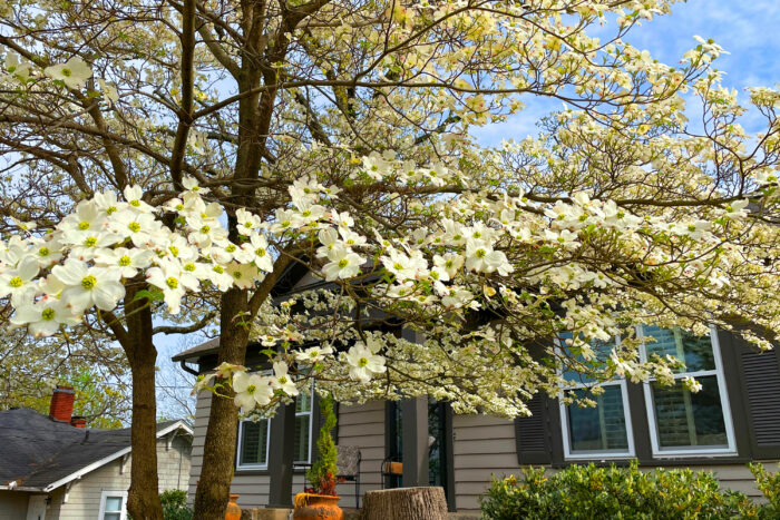 Outdoor decorating provided by nature: A dogwood in bloom in a front yard