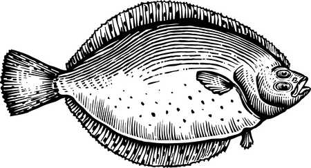 A black and white drawing of a flounder