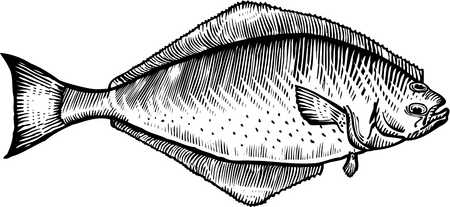 A black and white drawing of a halibut