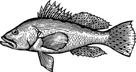 A black and white drawing of a sea bass