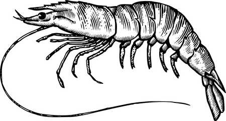 stock illustration a black and white drawing of a tiger prawn rh illustrationsource com Bird Clip Art Black and White Fish Clip Art Black and White
