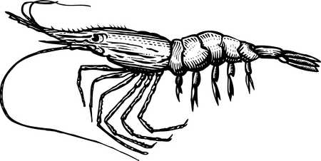 stock illustration a black and white drawing of a shrimp rh illustrationsource com sea shrimp clipart Cartoon Shrimp Clip Art