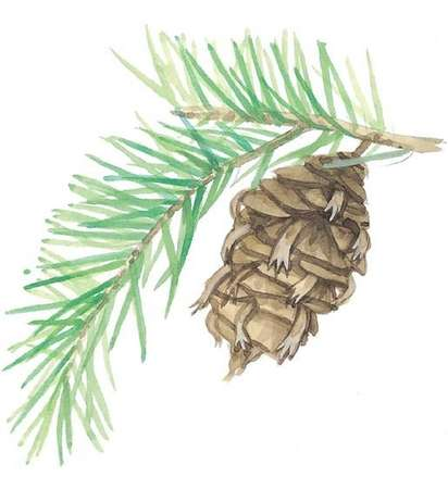 A sprig and pinecone from a Douglas Fir tree