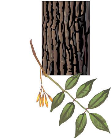 White ash tree and bark