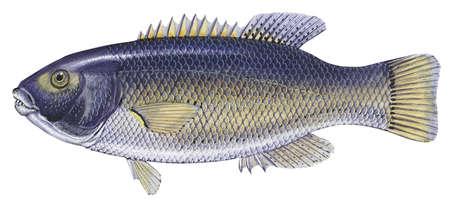 Giant pigfish (Achoerodus gouldii)