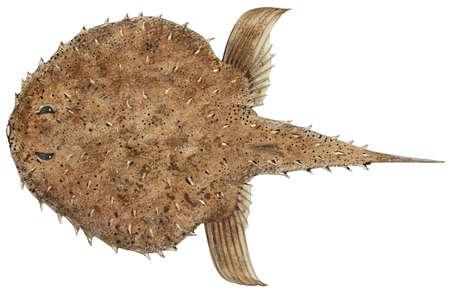 Spiny batfish (Halieutichthys aculeatus)