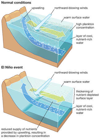 In an El Nino event, the upper water layer thickens and upwelled water contains fewer nutrients, lowering marine productivity