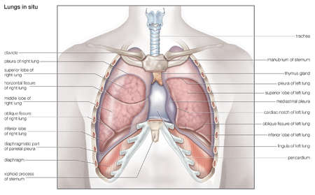 diagram of chest organs stock illustration - diagram of the human lungs in situ #3