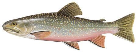 Brook trout (Salvelinus fontinalis)