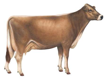 Brown Swiss cow, a cattle breed native to Switzerland and probably one of the oldest breeds in existence