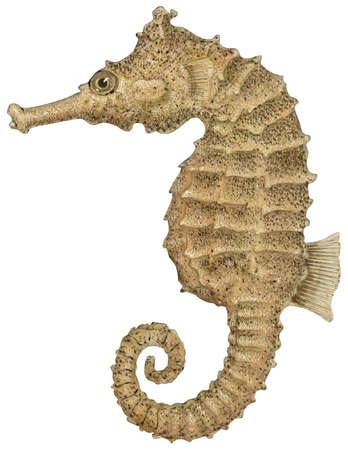 Sea horse (Hippocampus erectus)