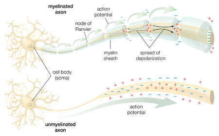 The conduction of the action potential across a myelinated and an unmyelinated axon