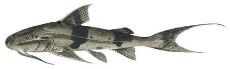 Goonch (Bagarius bagarius)