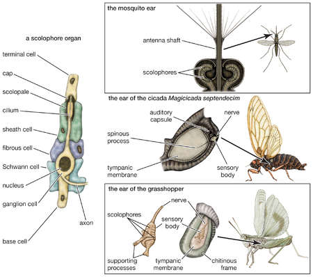 The auditory system in different types of insects