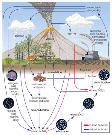 The circulation of nitrogen in various forms through nature, a process essential to life on Earth