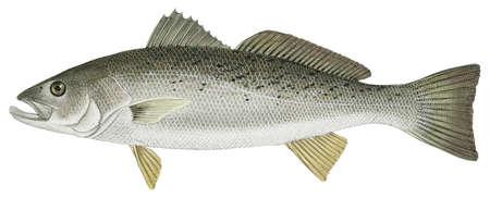 Weakfish (Cynoscion regalis)