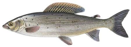 Grayling (Thymallus thymallus)
