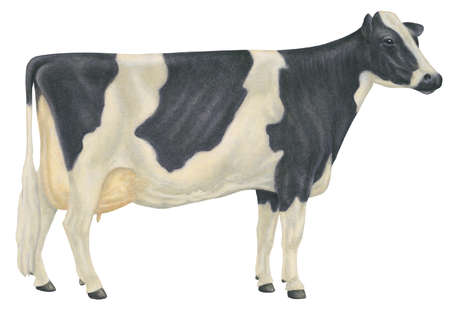 Holstein-Friesian cow, the most populous dairy breed in the United States