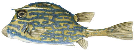 Cowfish (Acanthostracion quadricornis)