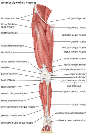 The anterior view of the muscles of the human right leg