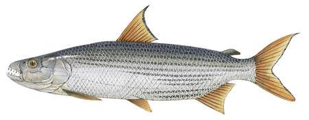 Tigerfish (Hydrocynus)