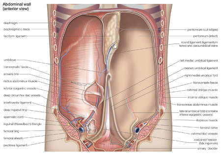 Anterior view of the human abdominal cavity