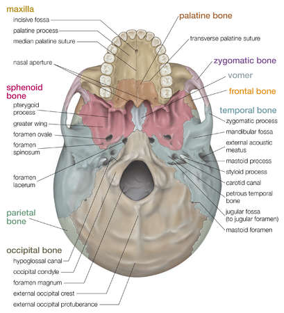 stock illustration - inferior view of the human skull, Human Body