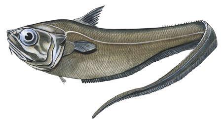 Grenadier (Macrourus ceavus)