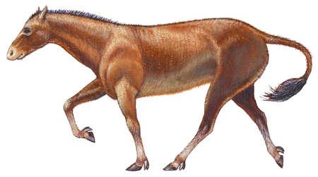 Mesohippus, a genus of extinct early and middle Oligocene horses