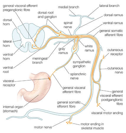 Stock Illustration The Structures Of A Typical Spinal Nerve