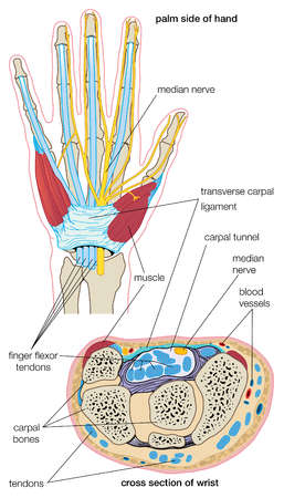 The structures of the wrist associated with carpal tunnel syndrome