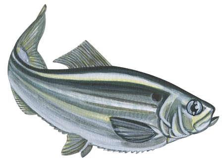 Alewife (Pomolobus pseudoharengus)