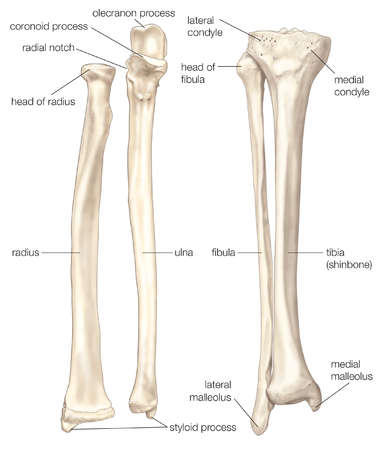 Stock Illustration - (Left) The radius and the ulna, bones of the ...