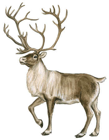 Stock Illustration - Caribou, or reindeer, are found in ...