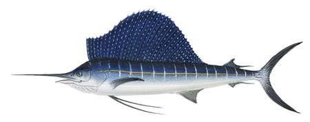 Atlantic sailfish (Istiophorus platypterus)