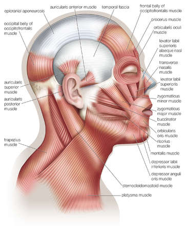 The muscles of the human head, used in facial expression